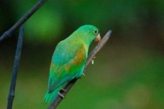 Click to enlarge image costa-rica-parrot-and-birdwatching-in-costa-rica.jpg